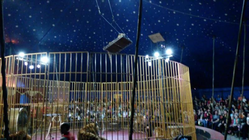 Тигры под куполом цирка.