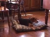 Основы дрессировки собак. Начало обучения 4 Игра Магнит