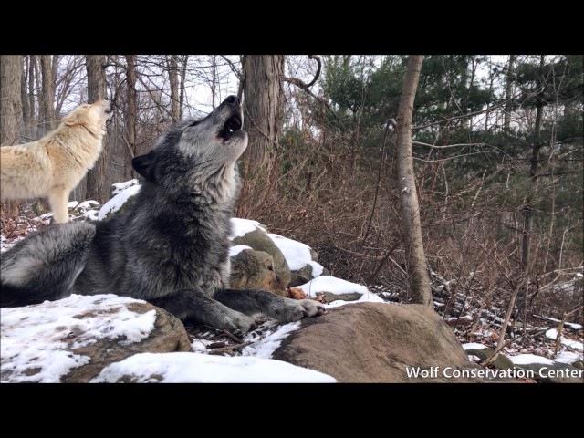 Ambassador Wolves Zephyr and Nikai Howl