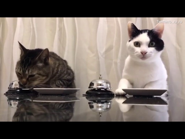 Smart cats ring a bell to get treats