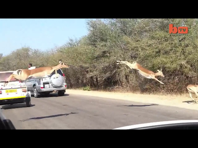 Impala Antelope Believe They Can Fly