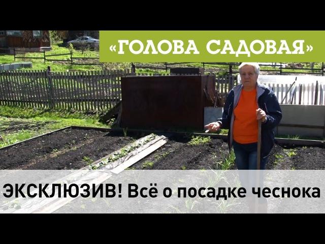 Голова садовая - ЭКСКЛЮЗИВ! Всё о посадке чеснока