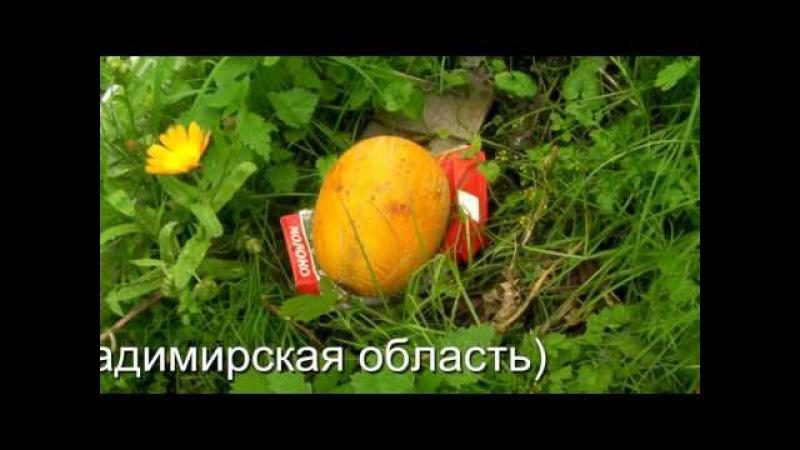 Дыня, выращивание на улице - 15 сентября (Владимирская область)