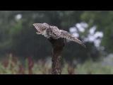 Little Owl Owlet Washing In The Rain