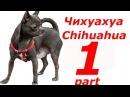 Чихуахуа лучшая мелкая порода собак для квартиры