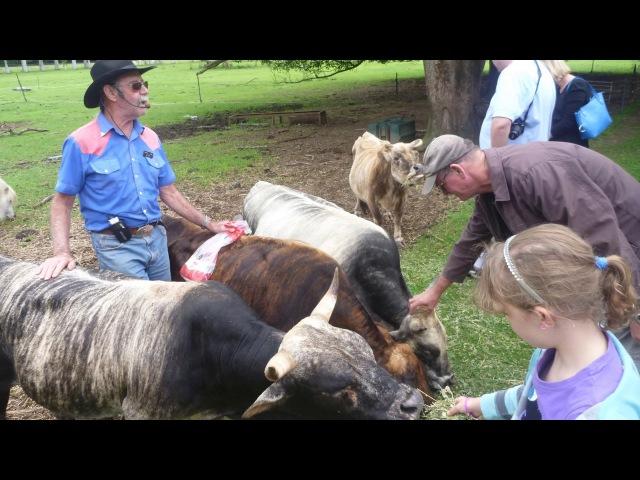 Карликовые коровы как бизнес идея