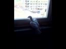 голубок