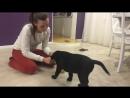 Как правильно кормить щенка во время обучения - лабрадор-ретривер