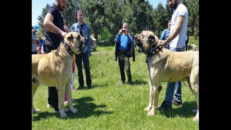 Kangal vs Kangal No Jokes With This Horrible Dogs