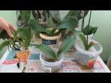 Пять орхидей из мусорки мучнистый червец корни обработка...