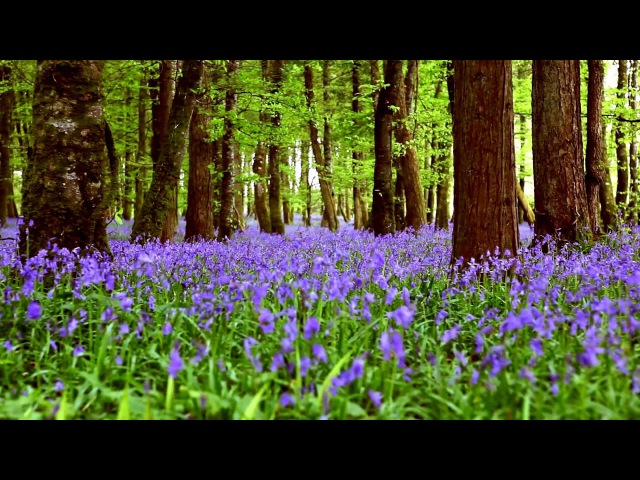 Лес и пение птиц (HD 1:01:51)