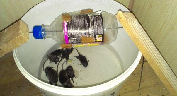 Как ловить мышей в бутылку (как сделать мышеловку своими руками)