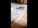 Котенок Бушидо играет с лазерной указкой