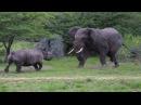 ВЕРСУС С НОСОРОГОМ Носорог против слона буйвола и льва