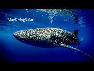 Китовая акула в Хургаде!/ The Whale Shark!