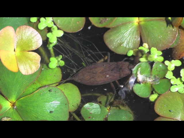 A water scorpion (Nepa cinerea)