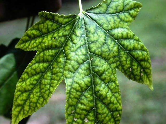 Растения 1 Определение нехватки элементов питания по листьям растения