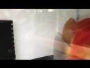 Пара Королевских Рубиновых Красных, выведенных Декстером Чунгом из DXcus Discus на Филиппинах