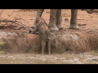 ЮАР. Слоненок застрял на водопое (04.12.2015 г.)