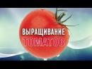 Выращивание томатов – способы