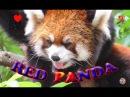 Красная панда, Московский Зоопарк ★ 超可愛小熊貓~~ 莫斯科,莫斯科動物園 ★ Red Panda - Moscow, Mosc...