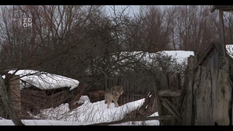 Vlci v Černobylu - Dokument - cz - hd - 1080p