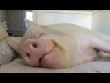 Esther the Wonder Pig - Good morning beautiful!