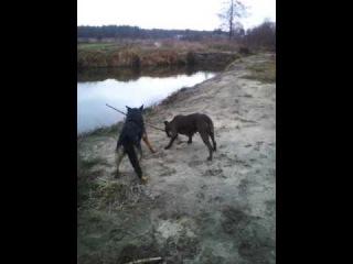 Німецька вівчарка проти амстафа