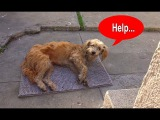 Hope For Paws Stray dog walks into a yard and then collapses...