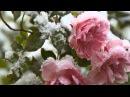 Замёрзшие розы