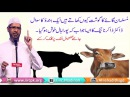 Musalman Gaye Cow गाय Ka Gosht Kyon Khate Hain Aik Hindu Ka Sawal By Dr Zakir Naik Urdu HIndi