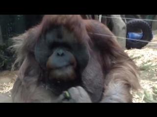 Смешные обезьяны Приколы с животными на канале ОРАНГУТАНГ