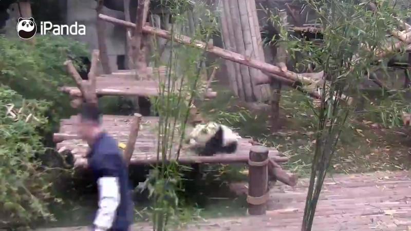 Pandaların nəsillərinin tükənmə səbəbi 😂😂🐼