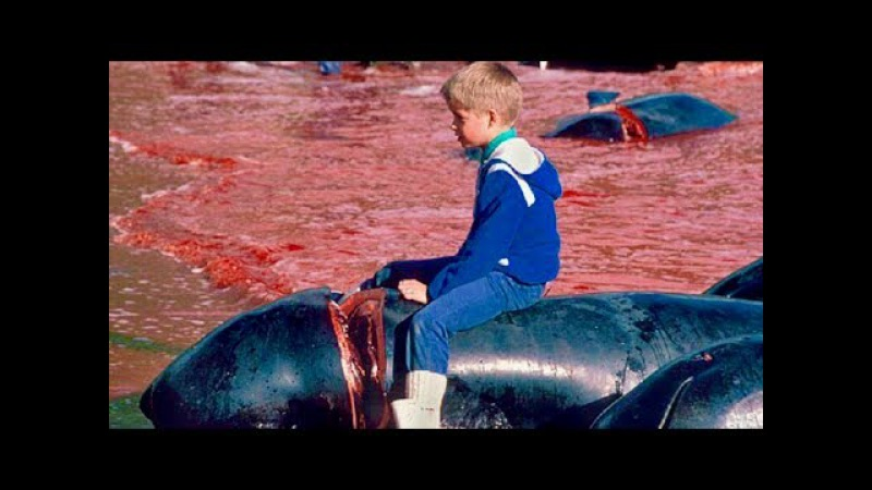 Hundreds Of Whales Die Every Year In Senseless Hunting Tradition - The Grindadráp