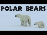 All About Polar Bears for Kids Polar Bears for Children - FreeSchool
