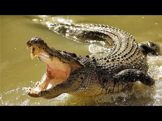 Самые опасные в мире животные: крокодилы, акулы, ядовитые пауки, змеи и медузы. Австралия 08.04.2017