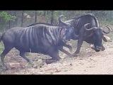 Антилопа гну реанимировала своего умирающего товарища