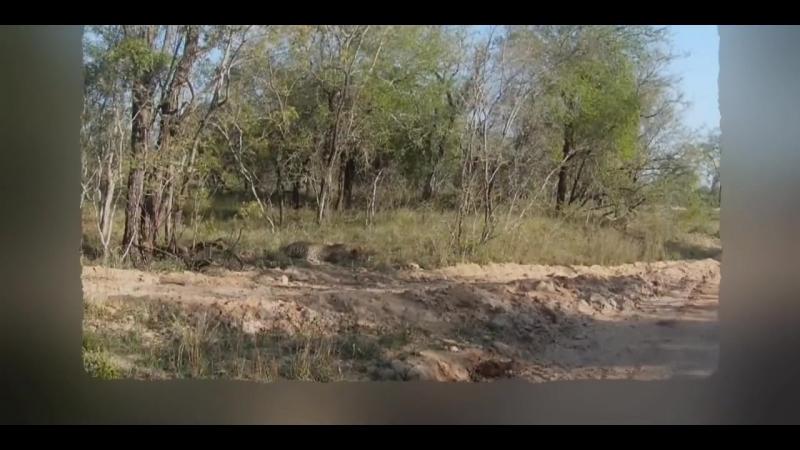Леопард красиво поймал импалу
