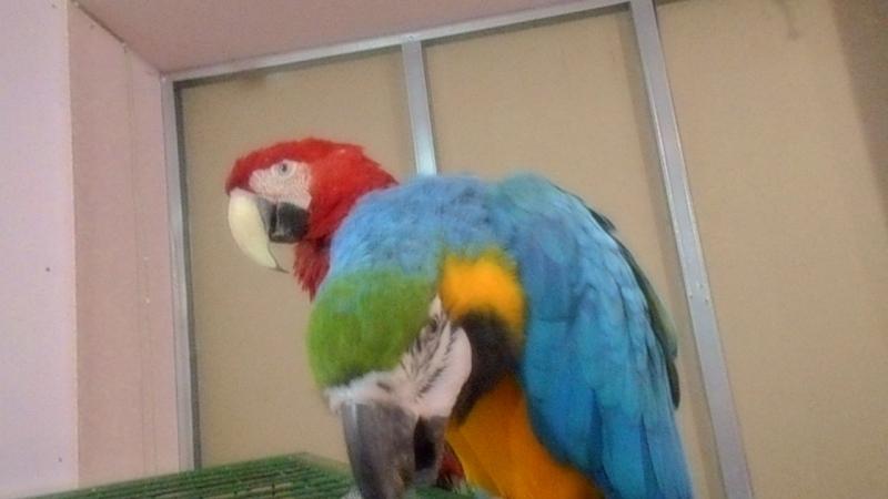 Попугай ара видео смотреть