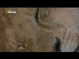 «Тимбавати: Мир диких кошек (3). Кровные узы» (Документальный, природа, животные, 2012)