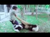 Уборщица в вольере с пандами