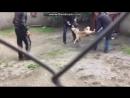 Кангал против Пита 18+ Собачьи бои