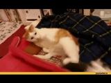 кот нинзя