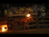 Maltraitance animale  Lorsque lhumain met le feu aux cornes dun taureau juste pour le fun
