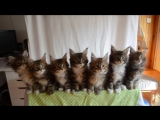 Kittens_born_April_10,_2014_-_GC_Triskel_Naomi_Sun_x_GC_Celtic_Cats_Helios_of_TriskelTriskelVideo33