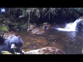 В Сети появилось видео медведицы с непослушным медвежонком