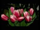 Цветы для тебя - Zvety dlia tebia