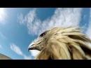 Орёл с экшен камерой на спине атакует лису Нападение хищника от первого лица