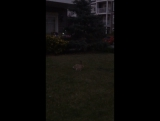 Canadian hare in my yard_2