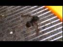 Frelon asiatique L'arme fatale